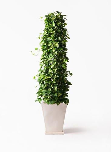 観葉植物 ポトス 10号 スクエアハット 白 付き