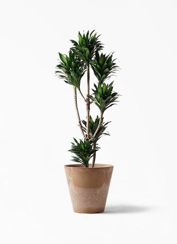 観葉植物 ドラセナ コンパクター 8号 アートストーン ラウンド ベージュ 付き