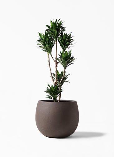 観葉植物 ドラセナ コンパクター 8号 テラニアス ローバルーン アンティークブラウン 付き