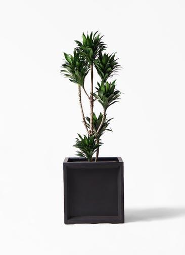 観葉植物 ドラセナ コンパクター 8号 ブリティッシュキューブ 付き