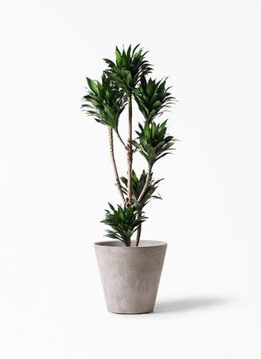 観葉植物 ドラセナ コンパクター 8号 アートストーン ラウンド グレー 付き
