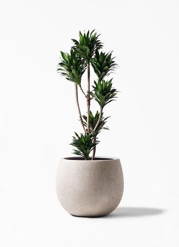 観葉植物 ドラセナ コンパクター 8号 テラニアス ローバルーン アンティークホワイト 付き