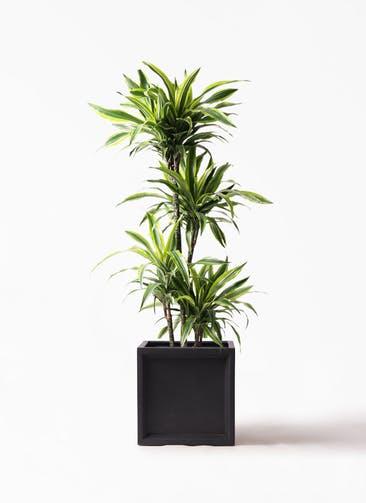 観葉植物 ドラセナ ワーネッキー レモンライム 10号 ブリティッシュキューブ 付き