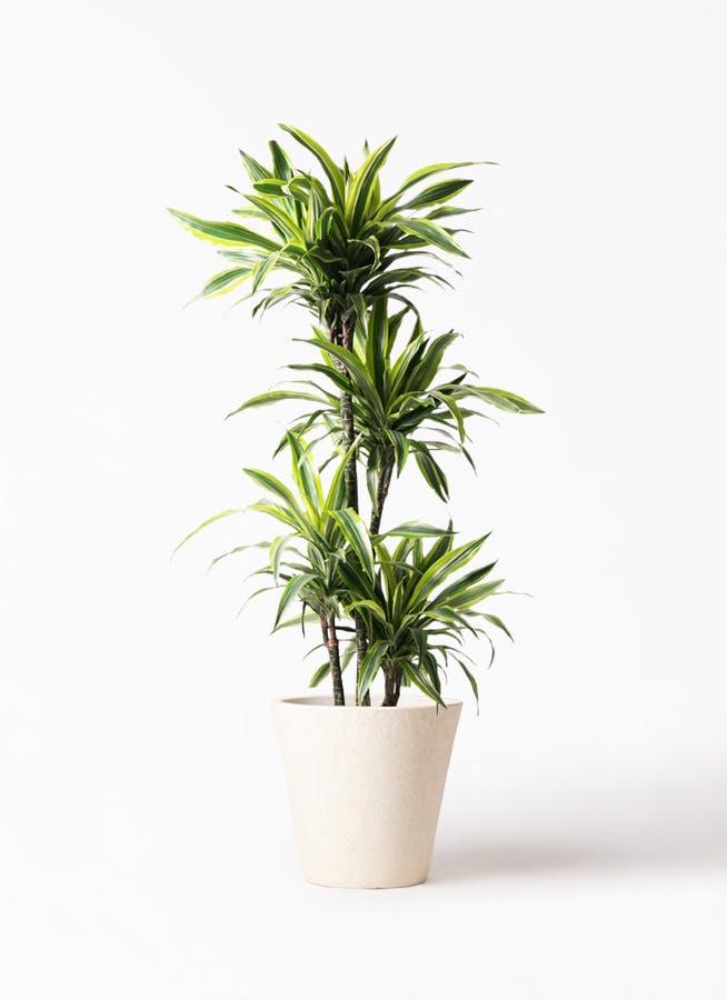観葉植物 ドラセナ ワーネッキー レモンライム 10号 フォリオソリッド クリーム 付き