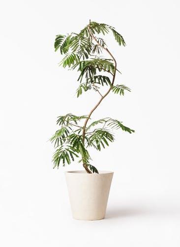 観葉植物 エバーフレッシュ 10号 曲り フォリオソリッド クリーム