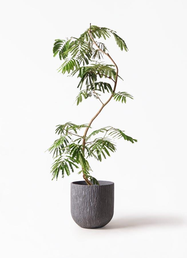 観葉植物 エバーフレッシュ 10号 曲り カルディナダークグレイ