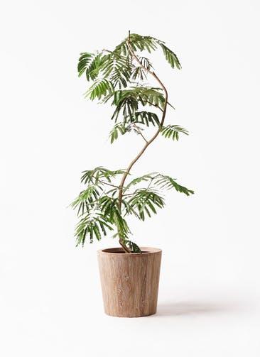 観葉植物 エバーフレッシュ 10号 曲り ウッドプランター