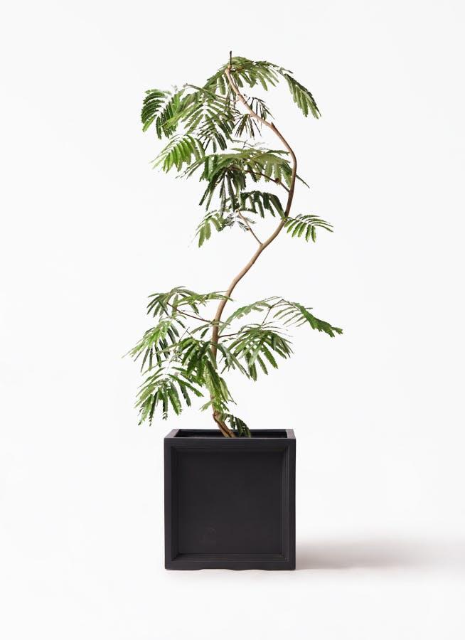 観葉植物 エバーフレッシュ 10号 曲り ブリティッシュキューブ