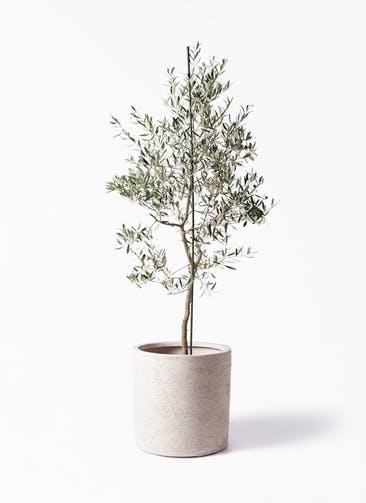 観葉植物 オリーブの木 10号 バルネア サンディ シリンダー 白 付き