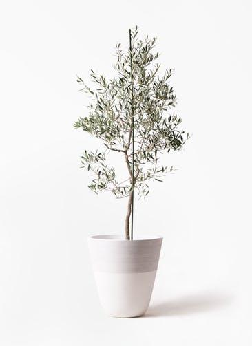 観葉植物 オリーブの木 10号 バルネア ジュピター 白 付き