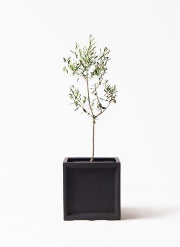 観葉植物 オリーブの木 8号 カラマタ ブリティッシュキューブ 付き