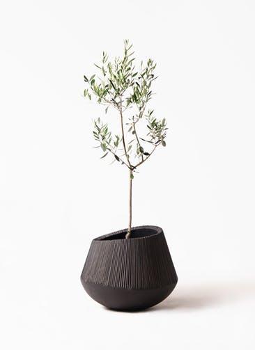 観葉植物 オリーブの木 8号 カラマタ エディラウンド 黒 付き