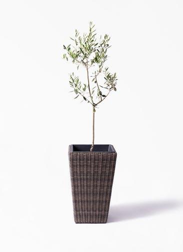 観葉植物 オリーブの木 8号 カラマタ ウィッカーポット スクエアロング OT 茶 付き