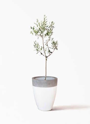 観葉植物 オリーブの木 8号 カラマタ ファイバーストーンカプリ 白 付き