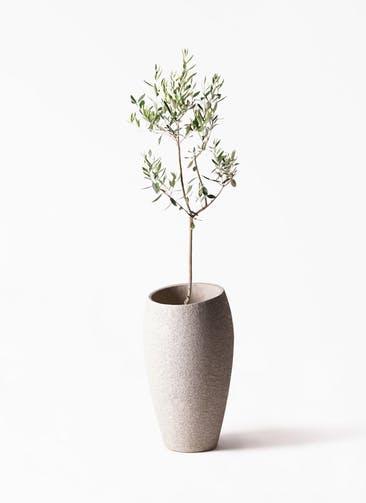 観葉植物 オリーブの木 8号 カラマタ エコストーントールタイプ Light Gray 付き