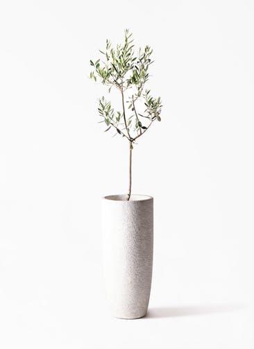 観葉植物 オリーブの木 8号 カラマタ エコストーントールタイプ white 付き