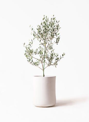 観葉植物 オリーブの木 8号 ルッカ バスク ミドル ホワイト 付き