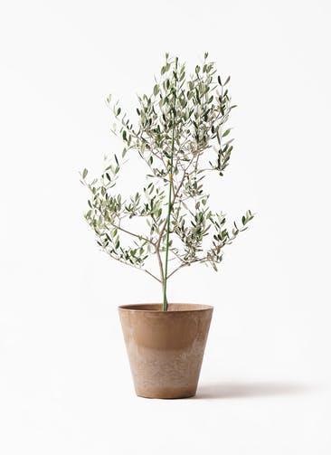観葉植物 オリーブの木 8号 ルッカ アートストーン ラウンド ベージュ 付き