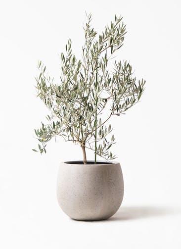観葉植物 オリーブの木 8号 オヒブランカ テラニアス ローバルーン アンティークホワイト 付き