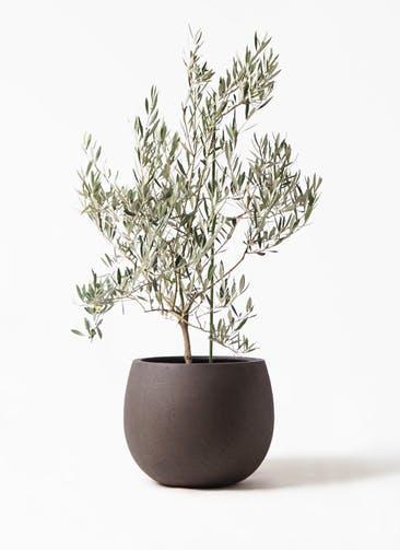 観葉植物 オリーブの木 8号 オヒブランカ テラニアス ローバルーン アンティークブラウン 付き