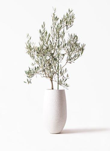 観葉植物 オリーブの木 8号 オヒブランカ フォンティーヌトール 白 付き