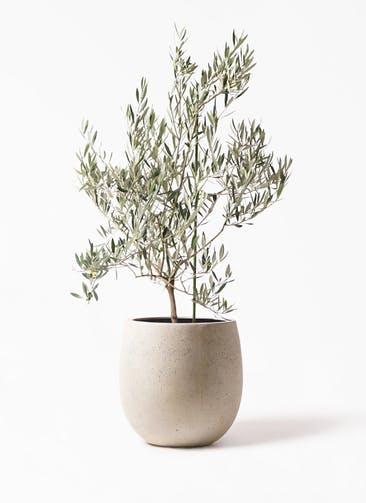 観葉植物 オリーブの木 8号 オヒブランカ テラニアス バルーン アンティークホワイト 付き