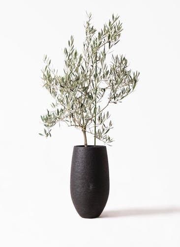 観葉植物 オリーブの木 8号 オヒブランカ フォンティーヌトール 黒 付き