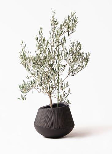 観葉植物 オリーブの木 8号 オヒブランカ エディラウンド 黒 付き