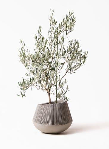 観葉植物 オリーブの木 8号 オヒブランカ エディラウンド グレイ 付き