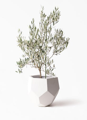 観葉植物 オリーブの木 8号 オヒブランカ ポリゴヘクサ 白 付き