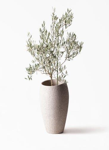 観葉植物 オリーブの木 8号 オヒブランカ エコストーントールタイプ Light Gray 付き