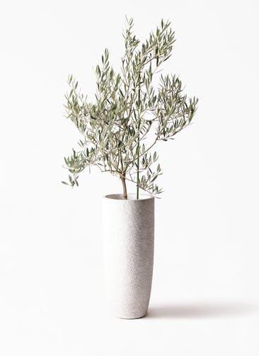 観葉植物 オリーブの木 8号 オヒブランカ エコストーントールタイプ white 付き