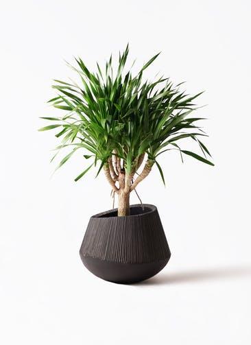 観葉植物 ドラセナ パラオ 8号 エディラウンド 黒 付き