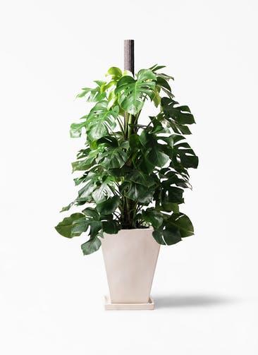 観葉植物 モンステラ 10号 木柱 スクエアハット 白 付き