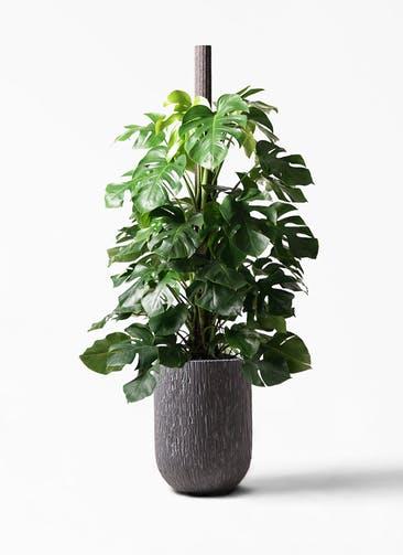 観葉植物 モンステラ 10号 ヘゴ柱 カルディナトールダークグレイ 付き