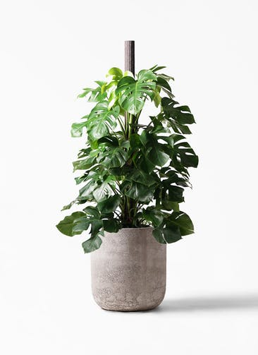 観葉植物 モンステラ 10号 ヘゴ柱 エルバ 白 付き
