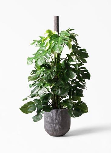観葉植物 モンステラ 10号 木柱 カルディナダークグレイ 付き