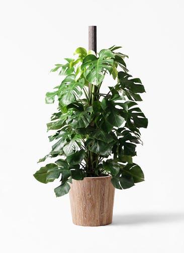 観葉植物 モンステラ 10号 木柱 ウッドプランター 付き
