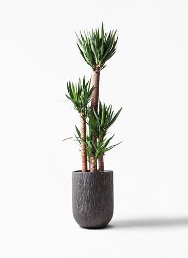 観葉植物 ユッカ 10号 ノーマル カルディナトールダークグレイ 付き