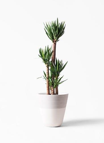 観葉植物 ユッカ 10号 ノーマル ジュピター 白 付き
