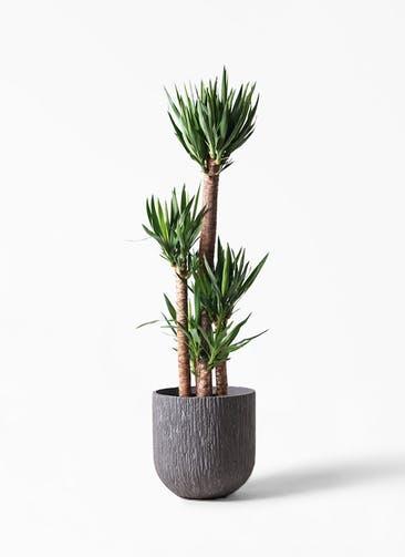 観葉植物 ユッカ 10号 ノーマル カルディナダークグレイ 付き