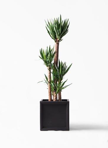 観葉植物 ユッカ 10号 ノーマル ブリティッシュキューブ 付き