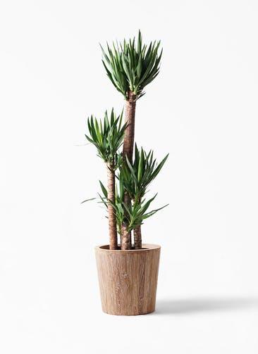 観葉植物 ユッカ 10号 ノーマル ウッドプランター 付き