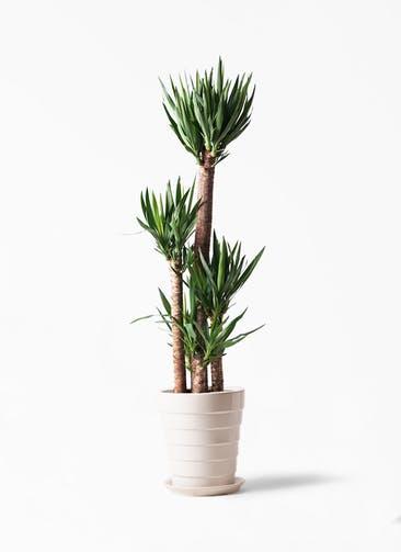 観葉植物 ユッカ 10号 ノーマル サバトリア 白 付き