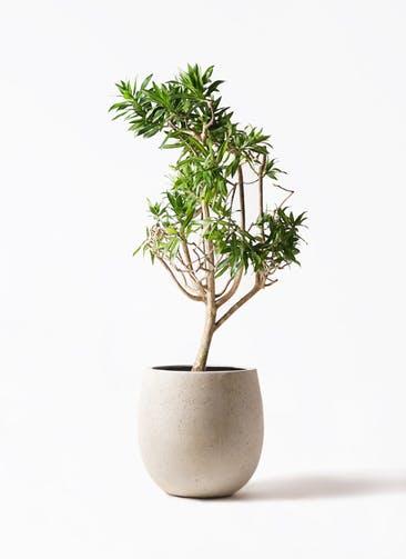 観葉植物 ドラセナ ソング オブ ジャマイカ 8号 テラニアス バルーン アンティークホワイト 付き
