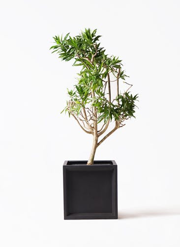 観葉植物 ドラセナ ソング オブ ジャマイカ 8号 ブリティッシュキューブ 付き