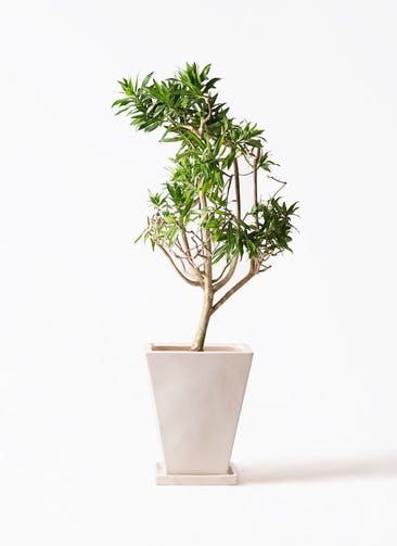 観葉植物 ドラセナ ソング オブ ジャマイカ 8号 スクエアハット 白 付き