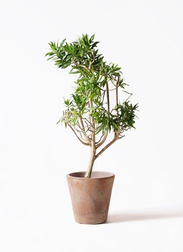 観葉植物 ドラセナ ソング オブ ジャマイカ 8号 ルーガ アンティコ ソリッド 付き