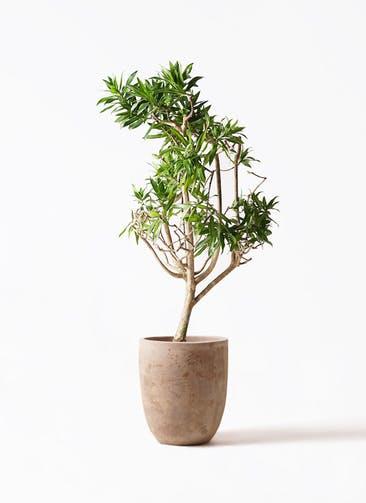 観葉植物 ドラセナ ソング オブ ジャマイカ 8号 ルーガ アンティコ アルトエッグ 付き