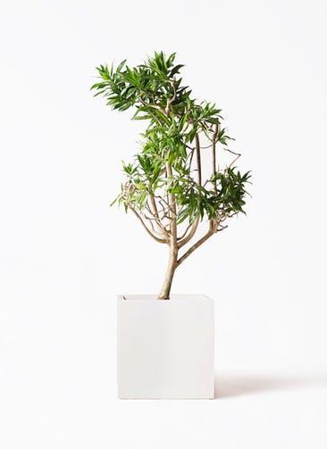 観葉植物 ドラセナ ソング オブ ジャマイカ 8号 バスク キューブ 付き